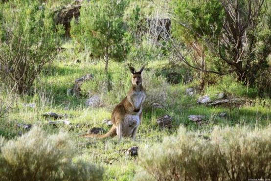 kangaroo_at_burra_creek_gorge__south_australia_by_violetashes-d7sg00h.jpg