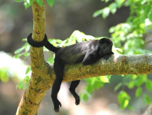 black-monkey-in-tree-holding-on-with-tail.jpg